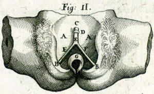 Représentation du clitoris par Casseri en 1600